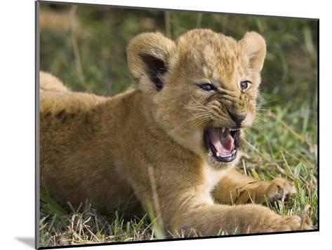 African Lion (PantheraLeo) 6 to 7 Week Old Cub Yawning, Vulnerable, Masai Mara Nat'l Reserve, Kenya-Suzi Eszterhas/Minden Pictures-Mounted Photographic Print