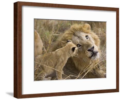 African Lion (Panthera Leo)Cub Playing with Adult Male, Vulnerable, Masai Mara Nat'l Reserve, Kenya-Suzi Eszterhas/Minden Pictures-Framed Art Print