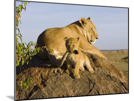 African Lion (Panthera Leo) Cub Playing with its Mother's Tail, Masai Mara Nat'l Reserve, Kenya-Suzi Eszterhas/Minden Pictures-Mounted Photographic Print