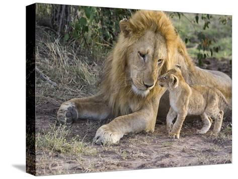 African Lion (Panthera Leo) Cub Approaches Adult Male, Vulnerable, Masai Mara Nat'l Reserve, Kenya-Suzi Eszterhas/Minden Pictures-Stretched Canvas Print