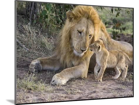 African Lion (Panthera Leo) Cub Approaches Adult Male, Vulnerable, Masai Mara Nat'l Reserve, Kenya-Suzi Eszterhas/Minden Pictures-Mounted Photographic Print