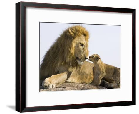African Lion (Panthera Leo) Cub Approaching Adult Male, Vulnerable, Masai Mara Nat'l Reserve, Kenya-Suzi Eszterhas/Minden Pictures-Framed Art Print