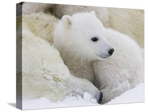 Polar Bear (Ursus Maritimus) Cubs on Top of their Mother, Wapusk Nat'l Park, Manitoba, Canada-Suzi Eszterhas/Minden Pictures-Stretched Canvas Print