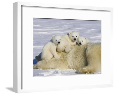 Polar Bear (Ursus Maritimus) Cubs on Top of their Mother, Wapusk Nat'l Park, Manitoba, Canada-Suzi Eszterhas/Minden Pictures-Framed Art Print