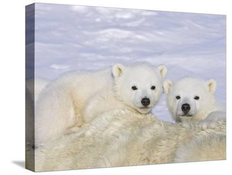 Polar Bear (Ursus Maritimus) Triplet Cubs on Top of their Mother, Wapusk, Vulnerable-Suzi Eszterhas/Minden Pictures-Stretched Canvas Print