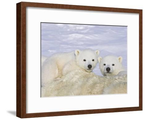 Polar Bear (Ursus Maritimus) Triplet Cubs on Top of their Mother, Wapusk, Vulnerable-Suzi Eszterhas/Minden Pictures-Framed Art Print