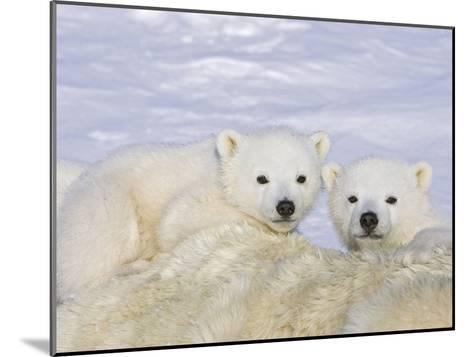 Polar Bear (Ursus Maritimus) Triplet Cubs on Top of their Mother, Wapusk, Vulnerable-Suzi Eszterhas/Minden Pictures-Mounted Photographic Print