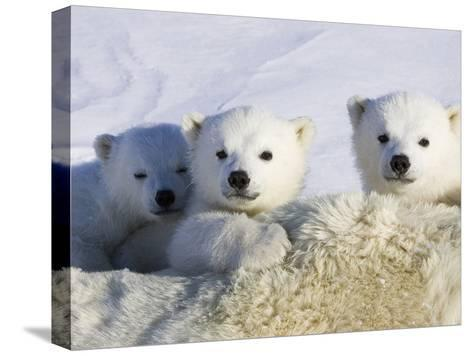 Polar Bear (Ursus Maritimus) Cubs Peeking over Mother, Wapusk Nat'l Park, Manitoba, Canada-Suzi Eszterhas/Minden Pictures-Stretched Canvas Print