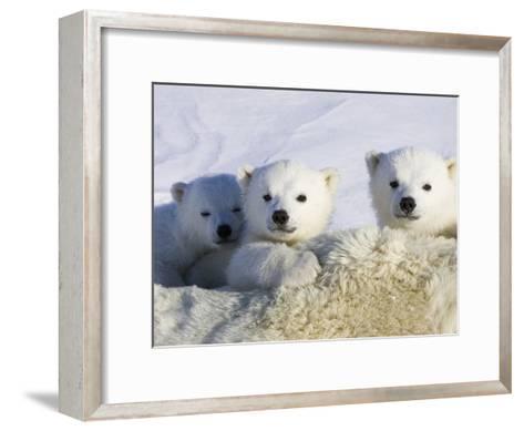 Polar Bear (Ursus Maritimus) Cubs Peeking over Mother, Wapusk Nat'l Park, Manitoba, Canada-Suzi Eszterhas/Minden Pictures-Framed Art Print