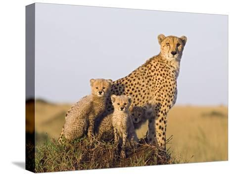 Cheetah (Acinonyx Jubatus) Mother and Eight Week Old Cubs, Maasai Mara Reserve, Kenya-Suzi Eszterhas/Minden Pictures-Stretched Canvas Print