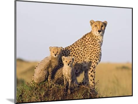 Cheetah (Acinonyx Jubatus) Mother and Eight Week Old Cubs, Maasai Mara Reserve, Kenya-Suzi Eszterhas/Minden Pictures-Mounted Photographic Print