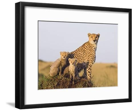 Cheetah (Acinonyx Jubatus) Mother and Eight Week Old Cubs, Maasai Mara Reserve, Kenya-Suzi Eszterhas/Minden Pictures-Framed Art Print