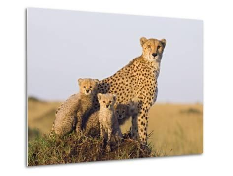 Cheetah (Acinonyx Jubatus) Mother and Eight Week Old Cubs, Maasai Mara Reserve, Kenya-Suzi Eszterhas/Minden Pictures-Metal Print