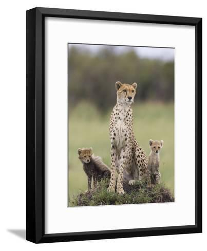 Cheetah (Acinonyx Jubatus) Mother and Eight to Nine Week Old Cubs, Maasai Mara Reserve, Kenya-Suzi Eszterhas/Minden Pictures-Framed Art Print