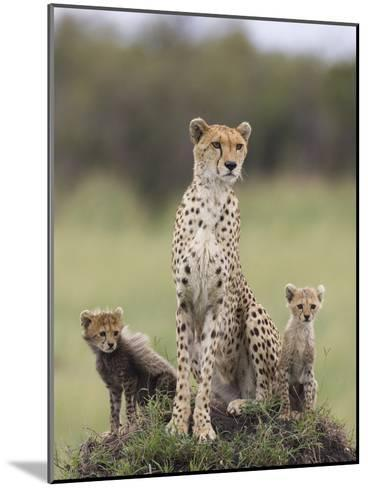Cheetah (Acinonyx Jubatus) Mother and Eight to Nine Week Old Cubs, Maasai Mara Reserve, Kenya-Suzi Eszterhas/Minden Pictures-Mounted Photographic Print