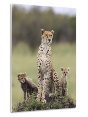 Cheetah (Acinonyx Jubatus) Mother and Eight to Nine Week Old Cubs, Maasai Mara Reserve, Kenya-Suzi Eszterhas/Minden Pictures-Metal Print