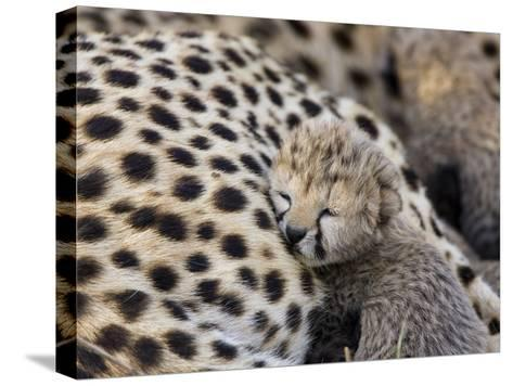 Cheetah (Acinonyx Jubatus) 7 Day Old Cub Resting Against Mother in Nest, Maasai Mara Reserve, Kenya-Suzi Eszterhas/Minden Pictures-Stretched Canvas Print