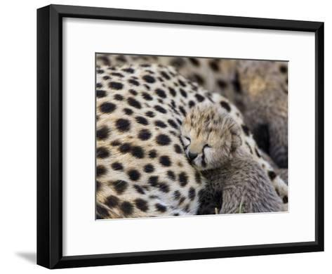 Cheetah (Acinonyx Jubatus) 7 Day Old Cub Resting Against Mother in Nest, Maasai Mara Reserve, Kenya-Suzi Eszterhas/Minden Pictures-Framed Art Print