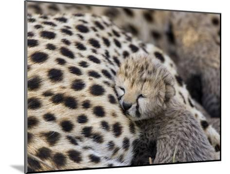 Cheetah (Acinonyx Jubatus) 7 Day Old Cub Resting Against Mother in Nest, Maasai Mara Reserve, Kenya-Suzi Eszterhas/Minden Pictures-Mounted Photographic Print