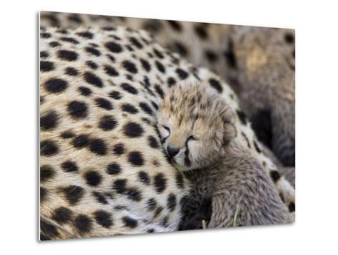 Cheetah (Acinonyx Jubatus) 7 Day Old Cub Resting Against Mother in Nest, Maasai Mara Reserve, Kenya-Suzi Eszterhas/Minden Pictures-Metal Print