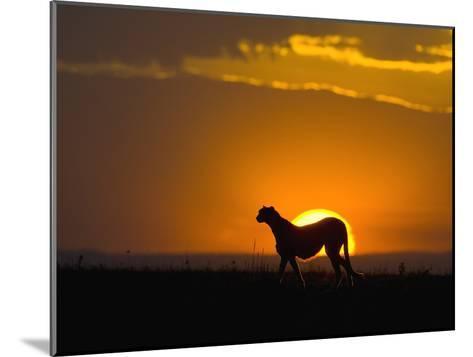 Cheetah (Acinonyx Jubatus) Female Silhouetted at Sunset, Maasai Mara Reserve, Kenya-Suzi Eszterhas/Minden Pictures-Mounted Photographic Print