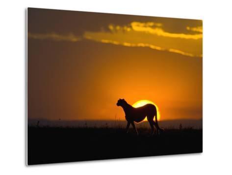 Cheetah (Acinonyx Jubatus) Female Silhouetted at Sunset, Maasai Mara Reserve, Kenya-Suzi Eszterhas/Minden Pictures-Metal Print