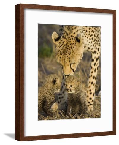 Cheetah (Acinonyx Jubatus) Mother Nuzzles Seven Day Old Cubs, Maasai Mara Reserve, Kenya-Suzi Eszterhas/Minden Pictures-Framed Art Print