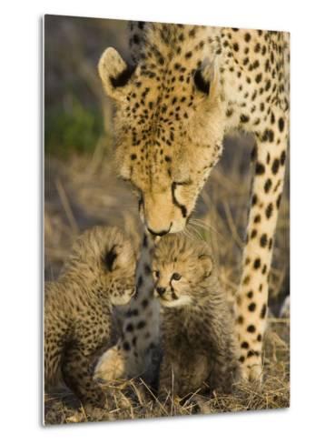 Cheetah (Acinonyx Jubatus) Mother Nuzzles Seven Day Old Cubs, Maasai Mara Reserve, Kenya-Suzi Eszterhas/Minden Pictures-Metal Print