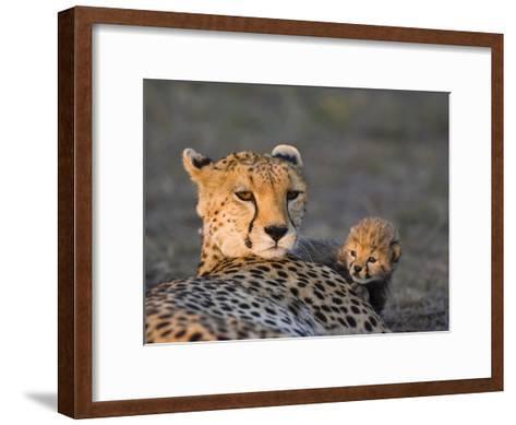 Cheetah (Acinonyx Jubatus) 8 Day Old Cub Climbing on Mother at Sunrise, Maasai Mara Reserve, Kenya-Suzi Eszterhas/Minden Pictures-Framed Art Print