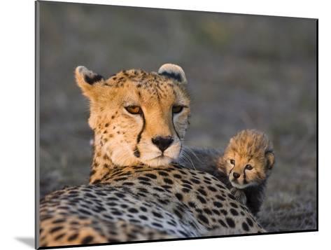 Cheetah (Acinonyx Jubatus) 8 Day Old Cub Climbing on Mother at Sunrise, Maasai Mara Reserve, Kenya-Suzi Eszterhas/Minden Pictures-Mounted Photographic Print