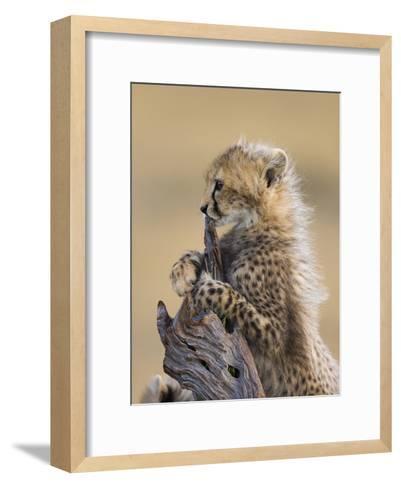 Cheetah (Acinonyx Jubatus) Six to Eight Week Old Cub, Maasai Mara Reserve, Kenya-Suzi Eszterhas/Minden Pictures-Framed Art Print