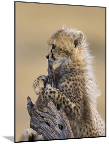 Cheetah (Acinonyx Jubatus) Six to Eight Week Old Cub, Maasai Mara Reserve, Kenya-Suzi Eszterhas/Minden Pictures-Mounted Photographic Print