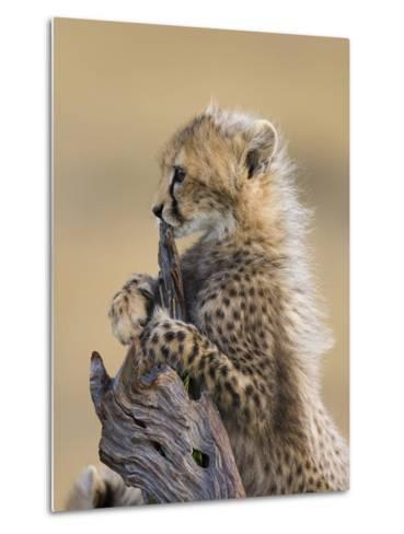 Cheetah (Acinonyx Jubatus) Six to Eight Week Old Cub, Maasai Mara Reserve, Kenya-Suzi Eszterhas/Minden Pictures-Metal Print