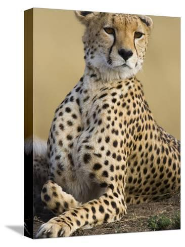 Cheetah (Acinonyx Jubatus) Adult Female Portait, Maasai Mara Reserve, Kenya-Suzi Eszterhas/Minden Pictures-Stretched Canvas Print