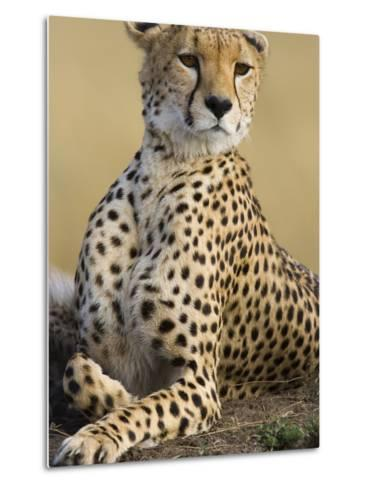 Cheetah (Acinonyx Jubatus) Adult Female Portait, Maasai Mara Reserve, Kenya-Suzi Eszterhas/Minden Pictures-Metal Print