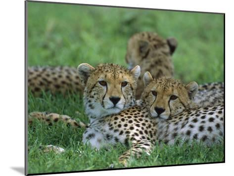 Cheetah (Acinonyx Jubatus) Older Cubs, Ngorongoro Conservation Area, Tanzania, East Africa-Suzi Eszterhas/Minden Pictures-Mounted Photographic Print
