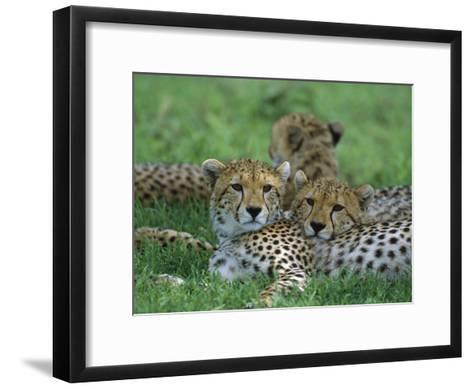 Cheetah (Acinonyx Jubatus) Older Cubs, Ngorongoro Conservation Area, Tanzania, East Africa-Suzi Eszterhas/Minden Pictures-Framed Art Print