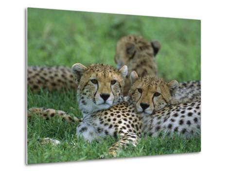 Cheetah (Acinonyx Jubatus) Older Cubs, Ngorongoro Conservation Area, Tanzania, East Africa-Suzi Eszterhas/Minden Pictures-Metal Print