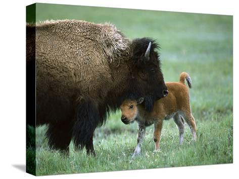 American Bison (Bison Bison) Female and Calf, Yellowstone Nat'l Park, Montana-Suzi Eszterhas/Minden Pictures-Stretched Canvas Print
