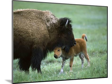 American Bison (Bison Bison) Female and Calf, Yellowstone Nat'l Park, Montana-Suzi Eszterhas/Minden Pictures-Mounted Photographic Print