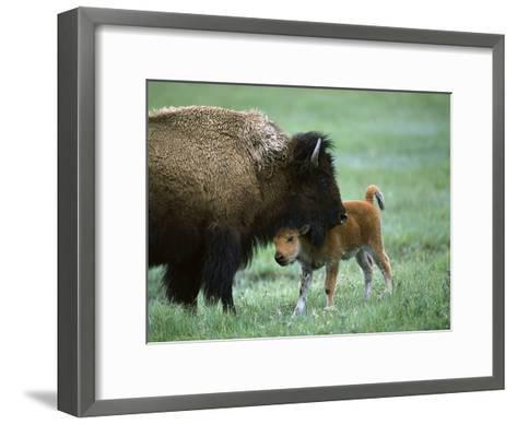 American Bison (Bison Bison) Female and Calf, Yellowstone Nat'l Park, Montana-Suzi Eszterhas/Minden Pictures-Framed Art Print