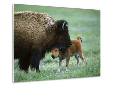 American Bison (Bison Bison) Female and Calf, Yellowstone Nat'l Park, Montana-Suzi Eszterhas/Minden Pictures-Metal Print