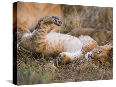 African Lion (Panthera Leo) Playful Cub Sprawling on Back, Masai Mara Nat'l Reserve, Kenya-Suzi Eszterhas/Minden Pictures-Stretched Canvas Print