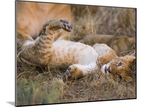 African Lion (Panthera Leo) Playful Cub Sprawling on Back, Masai Mara Nat'l Reserve, Kenya-Suzi Eszterhas/Minden Pictures-Mounted Photographic Print