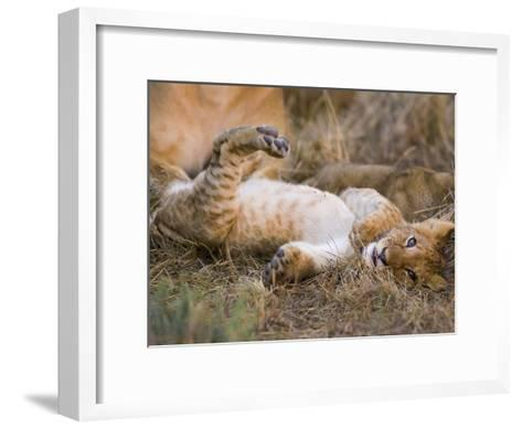 African Lion (Panthera Leo) Playful Cub Sprawling on Back, Masai Mara Nat'l Reserve, Kenya-Suzi Eszterhas/Minden Pictures-Framed Art Print