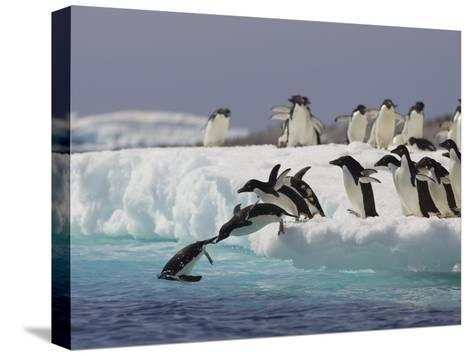 Adelie Penguin (Pygoscelis Adeliae) Jumping Off Iceberg into Icy Water, Paulet Island, Antarctica-Suzi Eszterhas/Minden Pictures-Stretched Canvas Print