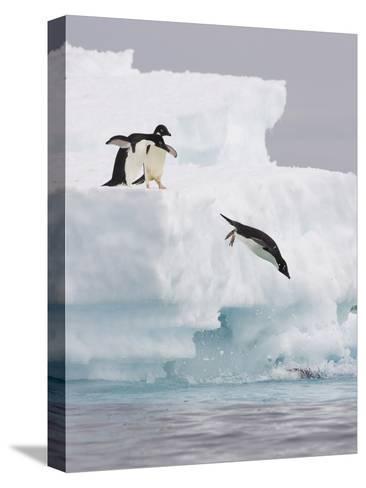 Adelie Penguin (Pygoscelis Adeliae) Diving Off Iceberg into Icy Water, Paulet Island, Antarctica-Suzi Eszterhas/Minden Pictures-Stretched Canvas Print