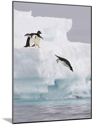 Adelie Penguin (Pygoscelis Adeliae) Diving Off Iceberg into Icy Water, Paulet Island, Antarctica-Suzi Eszterhas/Minden Pictures-Mounted Photographic Print