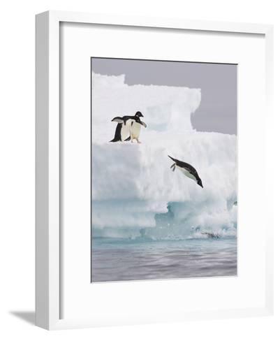Adelie Penguin (Pygoscelis Adeliae) Diving Off Iceberg into Icy Water, Paulet Island, Antarctica-Suzi Eszterhas/Minden Pictures-Framed Art Print