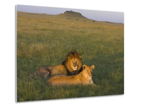 African Lion (Panthera Leo) Male and Female, Masai Mara, Kenya-Suzi Eszterhas/Minden Pictures-Metal Print